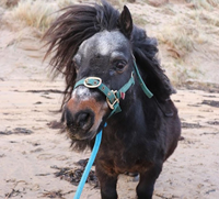 Little Rossi Pony at Island View Riding Stables